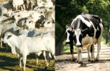 piel de los bovinos