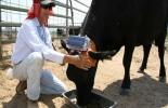 Vacas con GPS para pastoreo moderno
