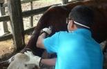 Vacunación bovinos