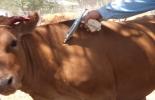 Vacunación fiebre aftosa.jpg