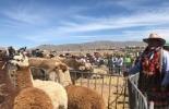 Perú, bicentanario, pastos mejorados, Ganadería, ganadería colombiana, noticias ganaderas, noticias ganaderas Colombia, CONtexto ganadero