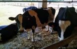 España, leche, ganadería de leche, productores de leche, bovinos, precio de la leche en España, precio de la leche en la Unión Europea, Contexto ganadero, noticias ganaderas. vacas