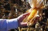 Argentina, Maíz, ADN del maíz, regiones del genoma, marcadores celulares, Maíz: estudian cómo diseñar semillas multirresistentes, conicet, contexto ganadero, noticias ganaderas, agricultura
