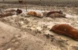 Ganadería, ganadería colombia, noticias ganaderas, noticias ganaderas colombia, CONtexto ganadero, australia, lluvias australia, invierno australia, queensland, ganadería australia, muerte ganado australia,