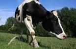 España, Detectado un caso del mal de las vacas locas en España, Organización Mundial de Sanidad Animal (OIE) un caso de Encefalopatía Espongiforme Bovina (EEB, Contexto ganadero, noticias ganaderas, vacas