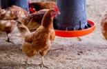 México, ganadería aviar,  enfermedad de Newcastle, en México detectan 4 focos de la  enfermedad de Newcastle, Contexto ganadero, noticias ganaderas, ganadería aviar