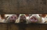 Ganadería, ganadería colombia, noticias ganaderas, noticias ganaderas colombia, CONtexto ganadero, peste porcina africana, ppa, Foro de la Peste Porcina Africana, Sader, CFIA, USDA, riesgo de PPA en América, Organización de Porcicultores de México, Oporpa, Confederación de Porcicultores Mexicanos, CPM, Organización Mundial de la Sanidad Animal, OIE,