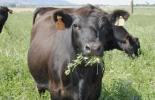 Proyectos reducir metano vacas, Experimentos internacional reducir metano vacas, Metano en vacas, emisión de metano en ganadería, reducir emisiones de metano, CH4, vacas CH4, vacas metano, bovinos metano, Ganadería emisión GEI, emisión gases efecto invernadero, Ganadería Sostenible, ganadería sostenible Colombia, gases de efecto invernadero, gases contaminantes de la ganadería, beneficios de la ganadería, CONtexto ganadero, ganaderos colombia, noticias ganaderas colombia