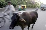 India, vacas en indias, vacas sagradas en india, protección de las vacas en india, bloque de búsqueda de vacas en india, hinduismo, vigilantes de vacas, vacas errantes, problema de las vacas en india, CONtexto ganadero, ganaderos colombia, noticias ganaderas colombia