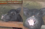 Peste Porcina Africana, PPA, requisitos sanitarios, prohibición ICA, Agroexpo 2019
