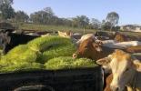 Forraje hidropónico, pasos producir de forraje hidropónico, alternativa alimenticia, alimento para el ganado, producción eficiente, cultivos hidropónicos de cebada, hidropónico, buena calidad, forrajes, nutrientes, cebada, Fodder Solutions, CONtexto ganadero, ganaderos Colombia, noticias ganaderas Colombia