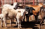Ganadería, ganadería colombia, noticias ganaderas, noticias ganaderas colombia, CONtexto ganadero, méxico, exportación de ganado de méxico a estados unidos, venta de ganado en pie de méxico a estados unidos, crece exportación de ganado de méxico, compra de ganado en pie de estados unidos a méxico, SENASICA, requisitos para exportar ganado en pie desde méxico a estados unidos