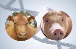 edición genética, edición genética ganado, edición genética Estados Unidos, Bienestar Animal, transgénesis, modificación genética en vacas, modificación genética bovinos, mejoramiento genético, CRISPR, Vacas modificadas genéticamente, Departamento Agricultura Estados Unidos, USDA, ganaderos, ganaderos colombia, ganado, bovinos, ganado bovino, Ganadería, ganadería colombia, noticias ganaderas, noticias ganaderas colombia, CONtexto ganadero, contextoganadero
