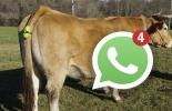 Ganadería, ganadería colombia, noticias ganaderas, noticias ganaderas colombia, CONtexto ganadero, whatsapp, aviso al ganadero, whatsapp para ganaderos, dispositivo para ganaderos, dispositivo avisa parto de vacas, parto de vacas, momento del parto de una vaca, tecnología para el campo