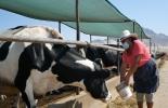Ganadería, ganadería colombia, noticias ganaderas, noticias ganaderas colombia, CONtexto ganadero, seguros, seguros agropecuarios, seguros ganaderos, seguros para ganaderos, seguros para ganaderos peruanos, perú asegura a 83000 ganaderos, ganadería Perú