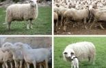 ganadería, ganadería colombia, noticias ganaderas, noticias ganaderas colombia, contexto ganadero, especies autóctonas, especies autóctonas de ovinos, ovinos, especies autóctonas España, congelar embriones, congelación de embriones de ovinos, especies ovinas en vía de extinción