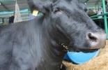 Ganadería, ganadería colombia, noticias ganaderas, noticias ganaderas colombia, CONtexto ganadero, vaca loca, vaca loca en brasil, caso de vaca loca en brasil, que es la vaca loca, enfermedad de vaca loca, exportaciones brasil, exportaciones de carne desde brasil, consecuencias de la vaca loca