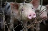 La empresa chilena Agrosuper decidió cerrar una planta faenadora de cerdos ubicada en el norte de Chile  © AFP/Archivo Raúl Arboleda