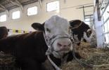 El Gobierno charrúa le sigue el rastro a todos sus bovinos