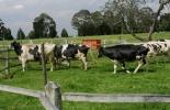 ganadería de leche