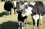 Las exportaciones de ganado entre Brasil y Venezuela se mantienen