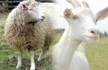 Fondo parafiscal de ovinos en Colombia, fondo parafiscal ovino, recursos sector ovinocaprino colombia, cadena ovinocaprina Colombia, sector ovino, sector caprino, Corderos Colombia, contrabando corderos Colombia, comercio de ovinos, producción ovinos Colombia, Asoovinos, CONtexto ganadero, ganaderos colombia, noticias ganaderas colombia