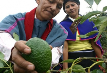 aguacate hass en colombia