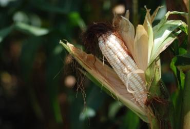 importación de maíz Colombia