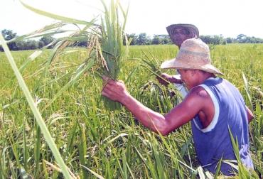 Cultivo arroz colombia