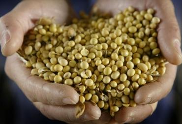 cultivos modificados genéticamente