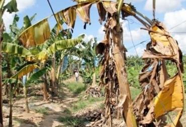 plagas cultivos banano, plagas cultivos banano noticias, plagas cultivos banano colombia, plagas cultivos banano cifras, plagas cultivos banano ica, contexto ganadero