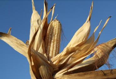 maíz corpoica, maíz variedades colombia, maíz colombia corpoica lanzamiento, contexto ganadero