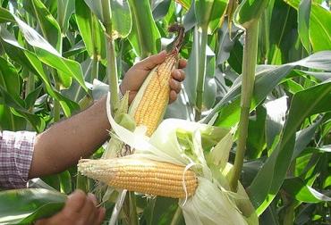 preocupación de ganaderos, importaciones de maíz, contingente de importaciones de maíz, altos costos de concentrados, CONtexto ganadero