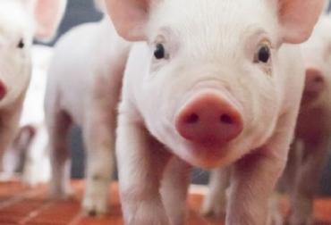 porkcolombia, porcinos colombia, cría de porcinos, producción porcina en colombia, ganadería porcina, Casanare, porkcolombia casanare, CONtexto ganadero, ganadería colombia