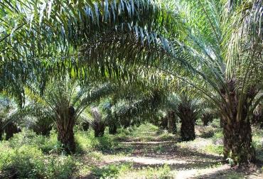 cultivos de palma de aceite, Tumaco, 629 familias, parametros técnicos, mejores prácticas, manejo de agua, polinización, poda, CONtexto Ganadero