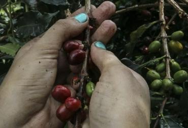 Café, Colombia, Café de Colombia, Federación Nacional de Cafeteros, retos de la caficultura colombiana para el 2018, rentabilidad del productor cafetero, retroceso en la producción cafetera en 2018, noticias ganadera, Ganadería colombiana, CONtexto ganadero