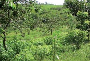 Veranera, Cratylia argéntea, rehabilitación de suelos ácidos degradados, CIPAV, Corpoica, CONtexto ganadero, ganadería Colombia, Noticias ganaderas Colombia