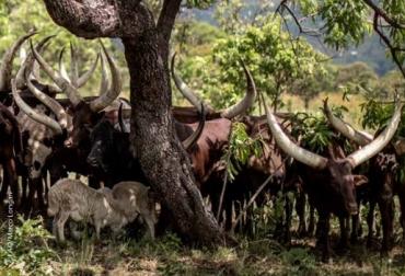FAO, agricultura climáticamente inteligente, ganadería, agricultura, pesca acuicultura climáticamente inteligentes, diversificación de los recursos y los ingresos asociados con la producción integrada, efectos del cambio climático, Contexto ganadero, noticias ganaderas, vacas, ganadería