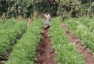 Colombia, papa, ICA, enfermedad punta morada, evitar el ingreso a Colombia de punta morada, contexto ganadero, noticias ganaderas, agricultura, vacas