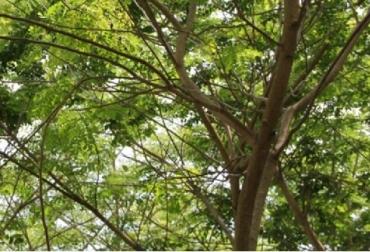 Colombia, Agrosavia, forestería, cambio climático, investigaciones de Agrosavia, comportamiento de 42 especies maderables , investigación en el manejo de algunos insectos plaga que afectan las plantaciones forestales, investigación en el manejo de algunos insectos plaga, CONtexto gandero, noticias ganaderas, investigación