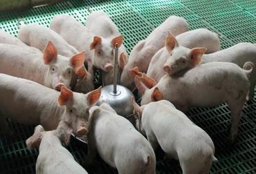 Ganadería, ganadería colombia, noticias ganaderas, noticias ganaderas colombia, CONtexto ganadero, cerdos, producción de cerdo, porcicultura, porcicultura, porcicultura en méxico, producción porcícola en méxico, estrés en cerdos, calidad de la carne de cerdo, boehringer Ingelheim Animal, Enterisol Ileitis®,