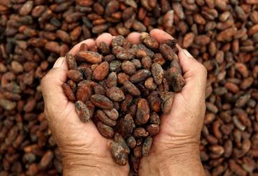 Ganadería, ganadería colombia, noticias ganaderas, noticias ganaderas colombia, CONtexto ganadero, cacao, cacao huila, el efecto cacao, cacao en colombia, siembra de cacao, cacao huilense,