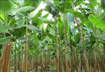 ICA, Alerta temprana por sospecha de la enfermedad de banano, La Guajira, Fusarium Raza 4 Tropical, Foc R4T, Plan de Contingencia, protección de las plantaciones de plátano y banano en todo el país, Ministerio de Agricultura, Agrosavia, AUGURA, ASBAMA, Cenibanano, protocolo de diagnóstico internacional, Puesto de Mando Unificado, CONtexto ganadero, noticias agrícolas de Colombia, sanidad