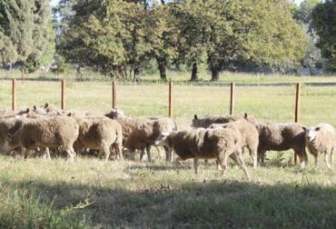 ganaderia, ganaderia colombia, ganaderia colombiana, contexto ganadero, noticias ganaderas, noticias ganaderas colombia, patoreo integrado ovinos, pastoreo integrado, ovinos, caprinos, sanidad hovinos, nutricion ovinos, manejo ovinos, ganaderos, granjas, ganaderos colombia