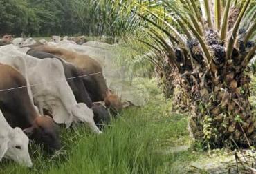 ganadería, ganaderia colombia, ganaderia colombiana, contexto ganadero, noticias ganaderias, noticias ganaderas colombia, cenipalma, ganaderia, palmicultura, siembra palma de aceite, prudicion del cogollo, ganaderos, ganaderos colombia
