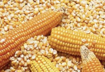 Ganadería, ganadería colombia, Ganadería colombiana, CONtexto ganadero, noticias ganaderas, noticias ganaderas colombia, maiz transgenico, hibrido de maiz, hibrido de maiz transgenico, maiz convencional, corhuila, Huila, ganaderos, ganaderos colombia, agricultores, agricultores Colombia