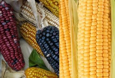 ganaderia, ganaderia colombia, ganaderia colombiana, contexto ganadero, noticias ganaderas, noticias ganaderas colombia, maiz, maiz convencional maiz transgenico, transgenico, hibrido mejorado, nutricion maiz transgenico, rentabilidad, agricultura, agricultores colombia, ganaderos, ganaderos colombia