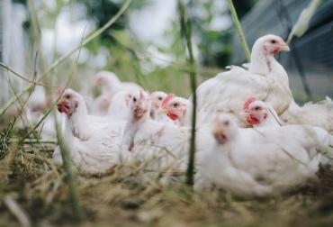 Ganadería, ganadería colombia, noticias ganaderas, noticias ganaderas colombia, CONtexto ganadero, subastas, Subastas por internet, subastas de gallinas por internet, subastas de aves por internet, superbid, Fenavi