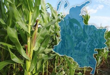 transgénicos, Alimentos, maíz, algodón, área, Agrobio, ICA, siembras, flores, Meta, Tolima, Valle, semillas, rendimiento, agricultores, Tecnología, Ganadería, ganadería colombia, noticias ganaderas colombia, CONtexto ganadero.