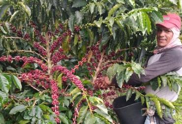 Ganadería, ganadería colombia, noticias ganaderas, noticias ganaderas colombia, CONtexto ganadero, Café, café caldas, cosecha de café en caldas, cafeteros caldas, cosecha cafetera 2020, cosecha café caldas 2020